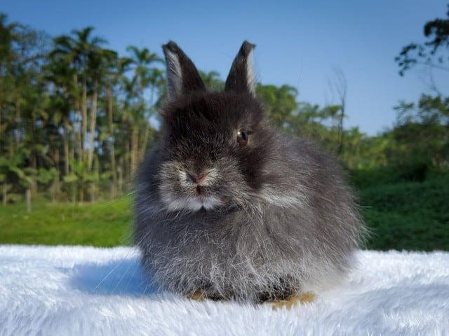 raca de mini coelho com pelos escuros