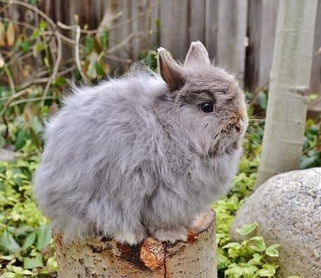 raca de mini coelho de orelha pequena