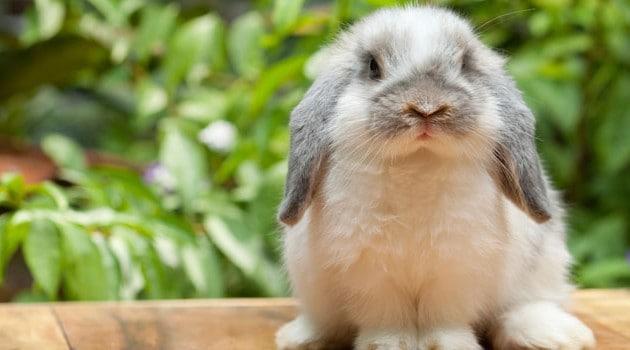 tamanho e peso de mini coelho