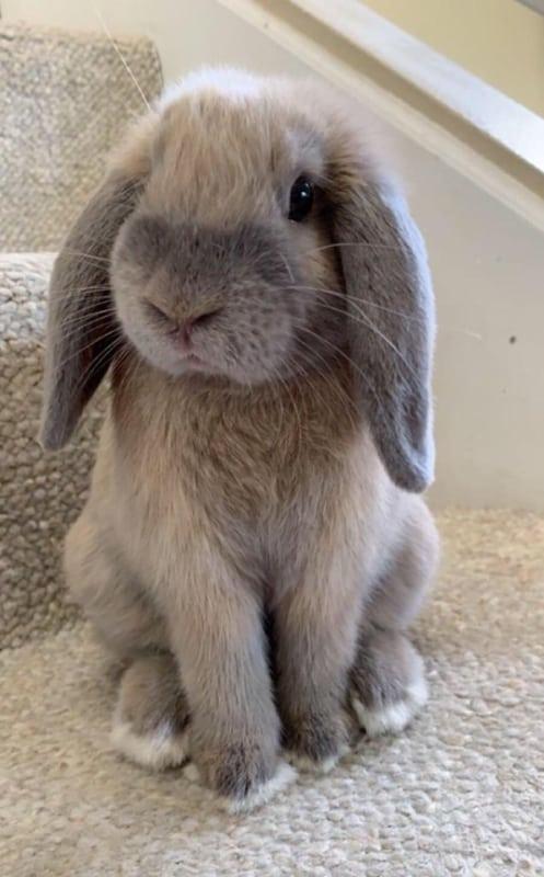 raca de mini coelho de orelhas caidas