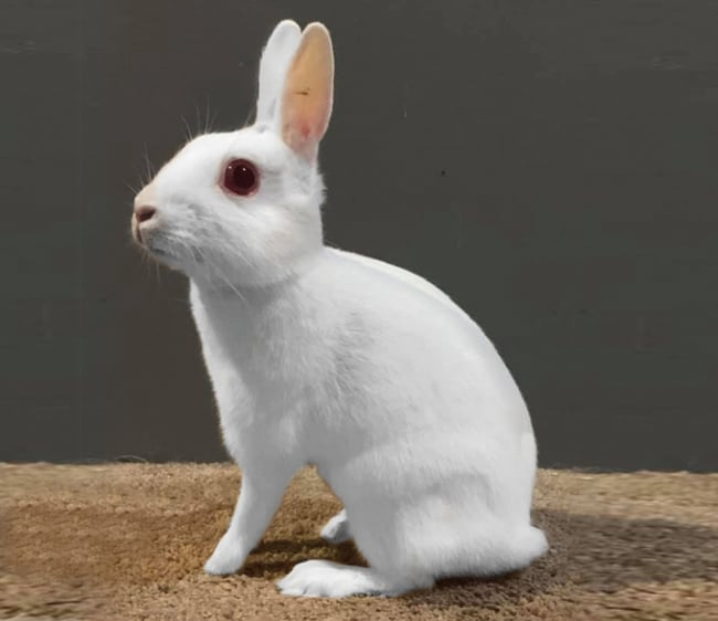 mini coelho branco Britannia Petite