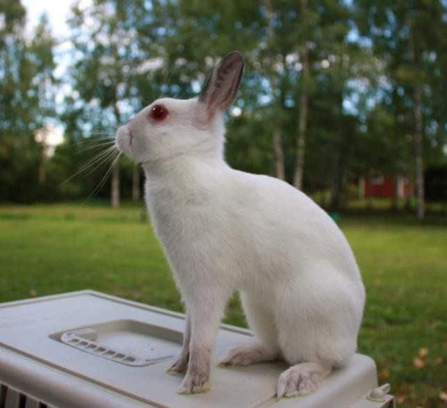 raca de mini coelho Britannia Petite