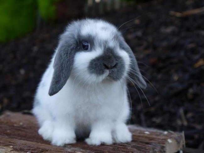 mini coelho branco e cinza Mini lop