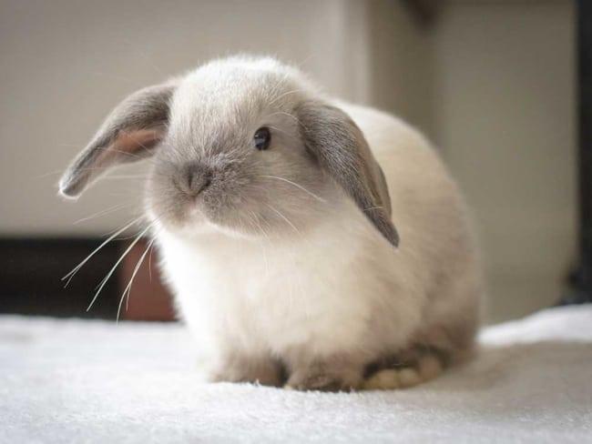 raca de coelho Mini lop