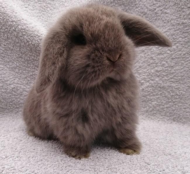 raca de mini coelho com orelhas caidas