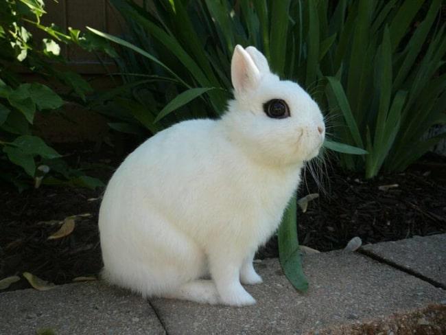 mini coelho branco de orelhas pequenas