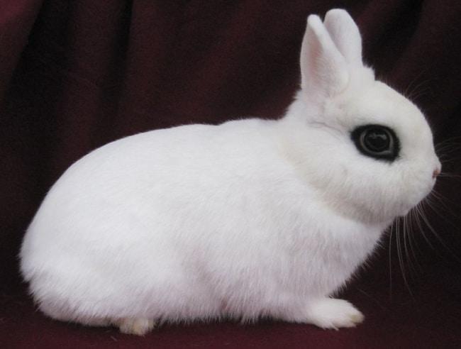 raca Dwarf Hotot de mini coelho branco