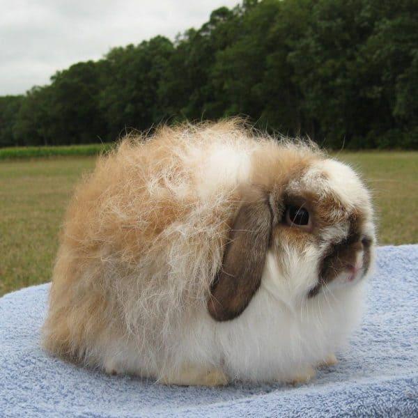 raca de mini coelho American fuzzy lop
