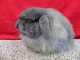 mini coelho cinza American fuzzy lop