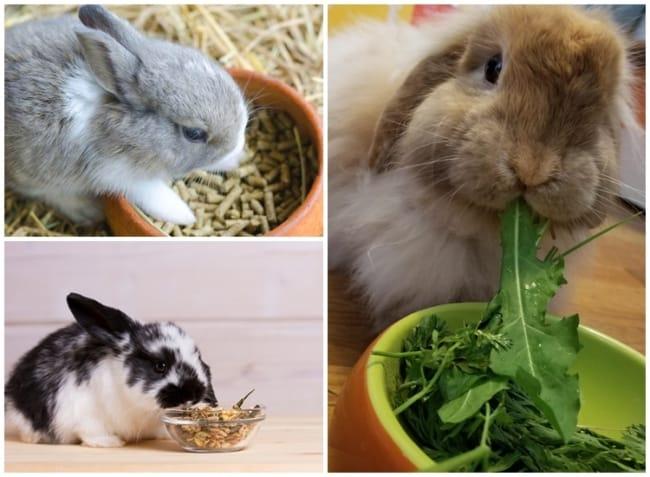 cuidados e alimentacao de mini coelho