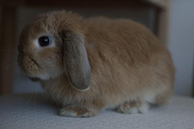 mini coelho da raca mini lop