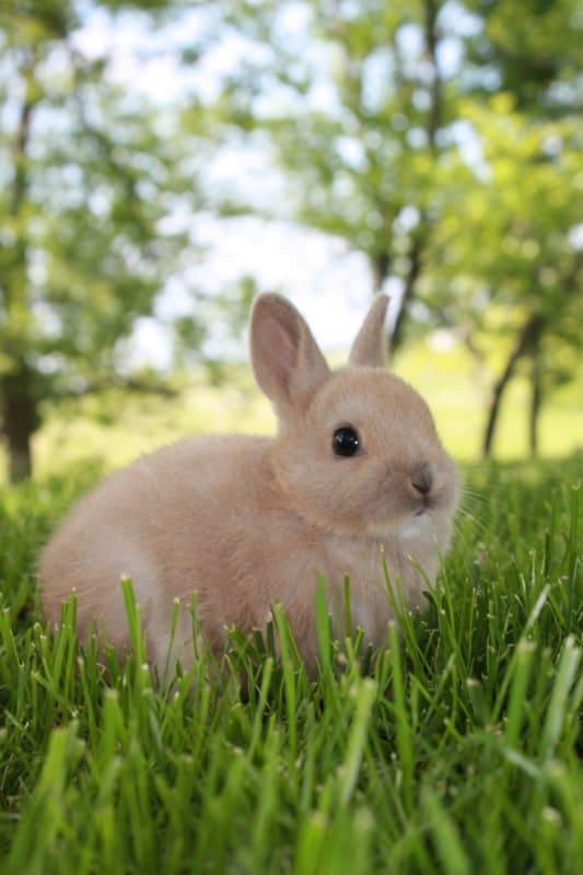 6 raca de mini coelho de orelhas pequenas
