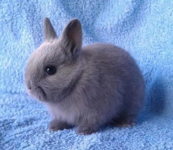mini coelho cinza holandes