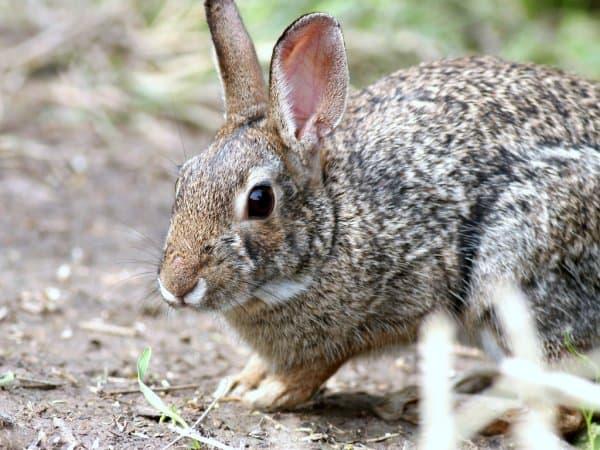 mini coelho raro Coelho pigmeu da Bacia de Columbia