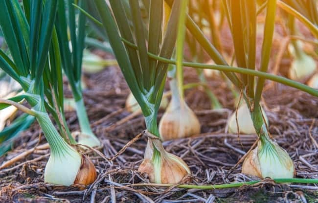 dicas para plantar cebola