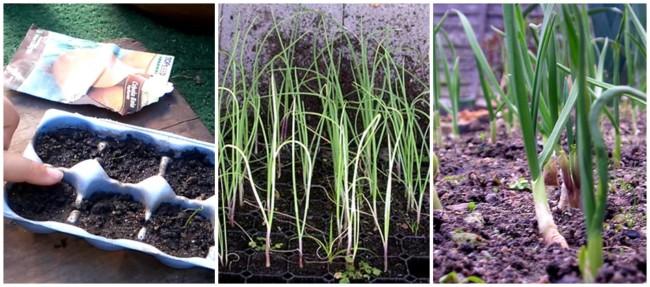 como plantar cebola
