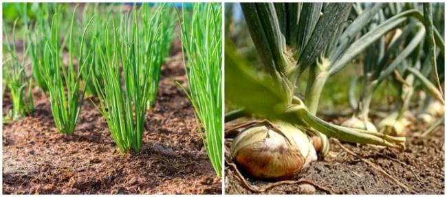 tipos de plantio de cebola