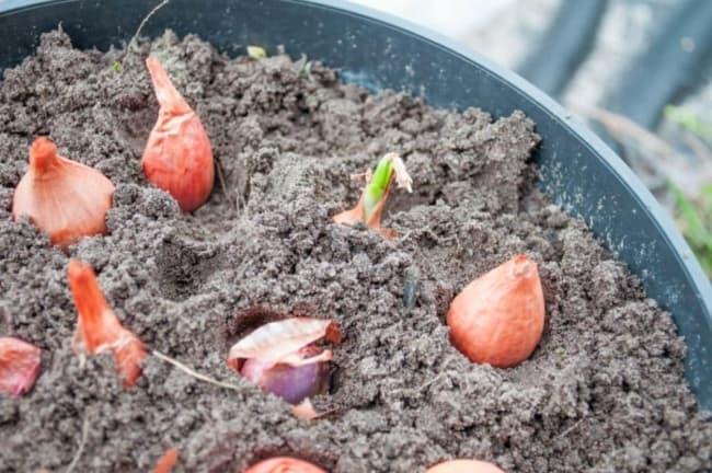 dicas para plantar cebola em vaso