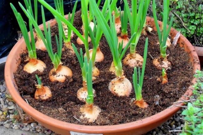 passo a passo para plantar cebola em vaso