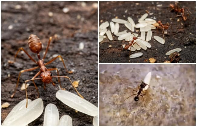 receita com arroz para acabar com formigas