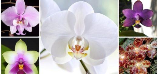dicas orquidea phalaenopsis