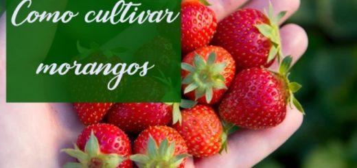 dicas para cultivo de morango