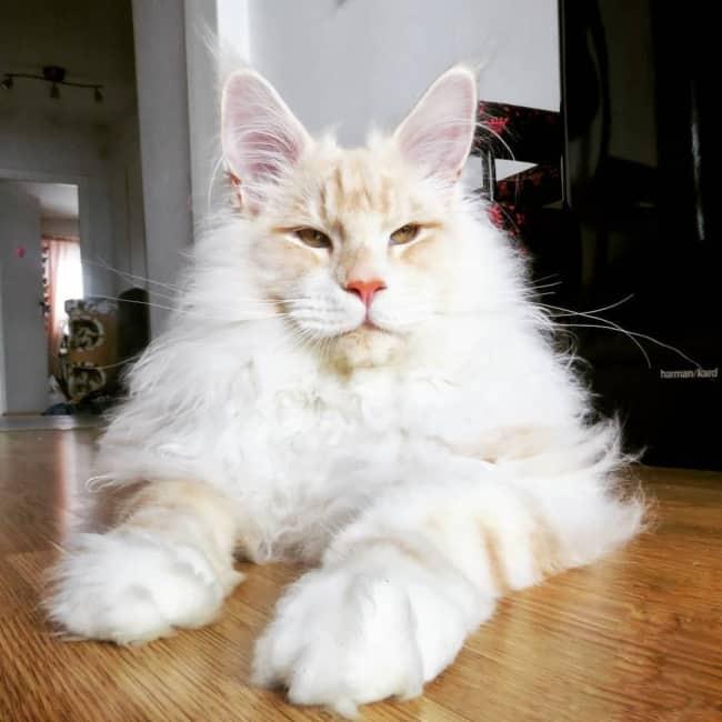 caracteristicas da raca de gato maine coon