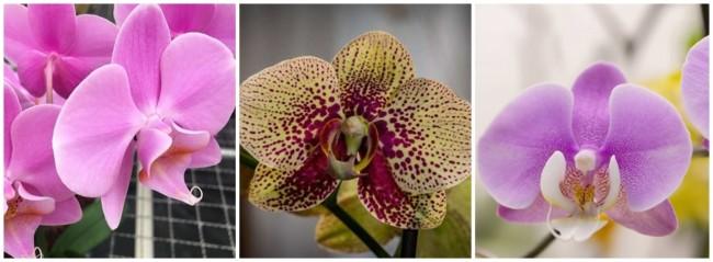 caracteristicas orquideas phalaenopsis