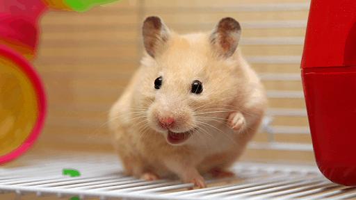 curiosidades hamster