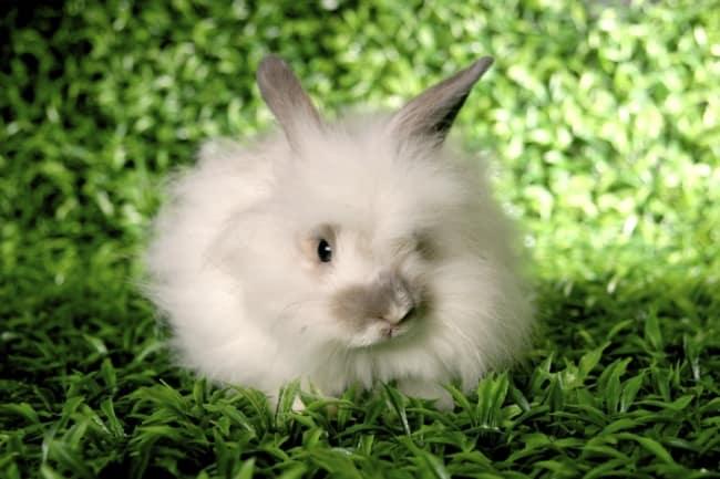 raca de coelho com muito pelo