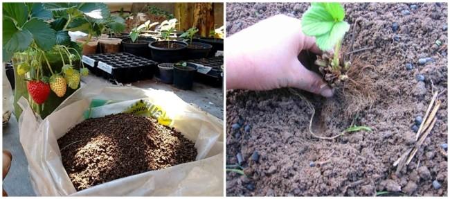 solo ideal para cultivo de morango