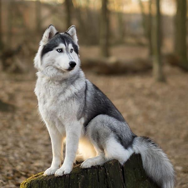tamanho e peso medio de husky siberiano