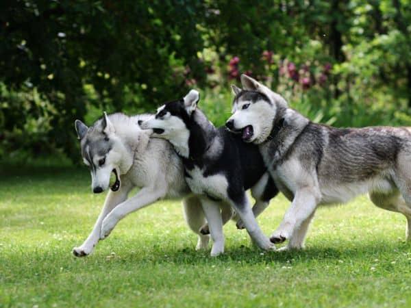 espaco e atividades com husky siberiano