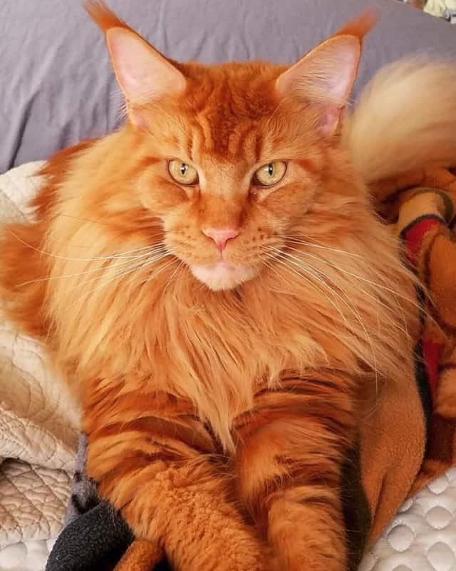 gato gigante com pelo avermelhado