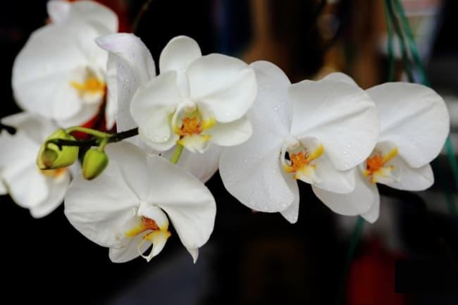 orquidea phalaenopsis branca amabilis