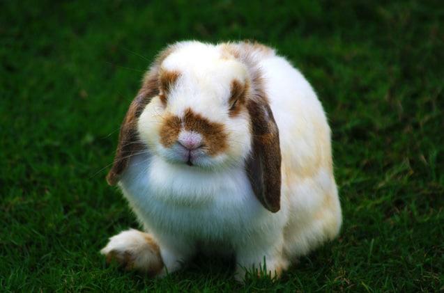 raca de coelho pequeno