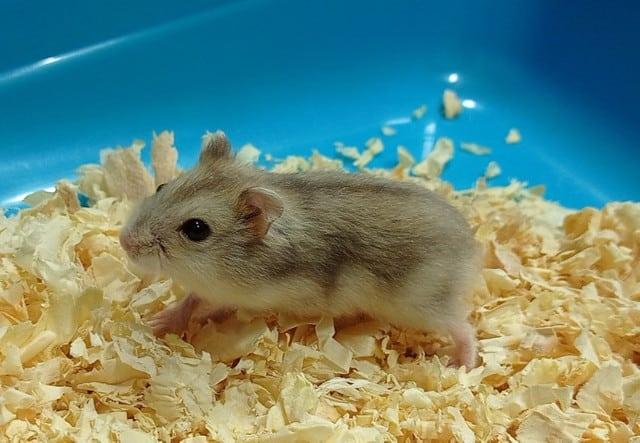 raca de hamster pequeno