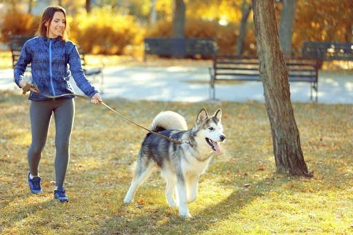 atividade com husky siberiano