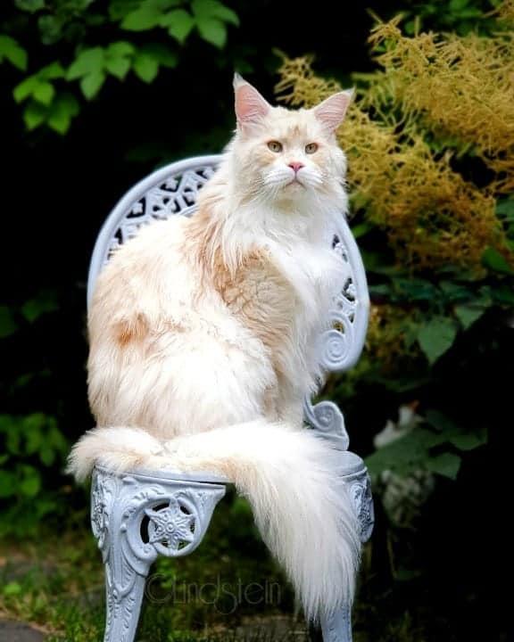 gato maine coon de cor clara