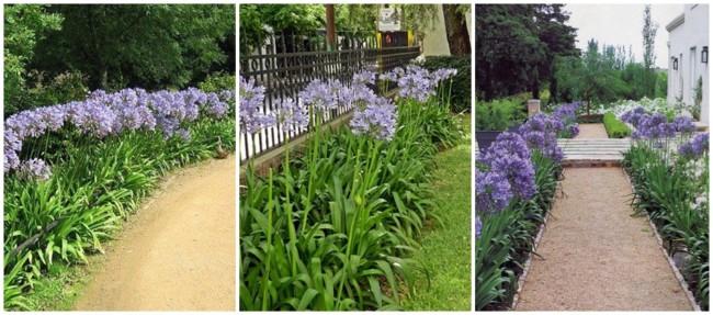 jardim com agapanto