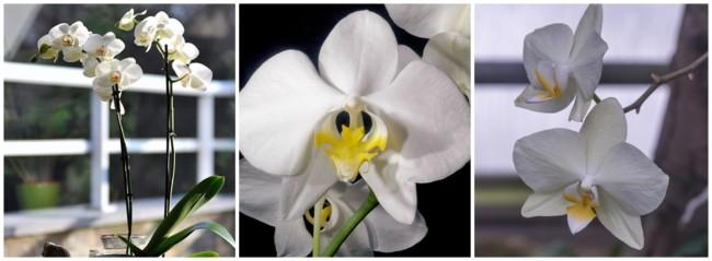 especie de orquidea branca