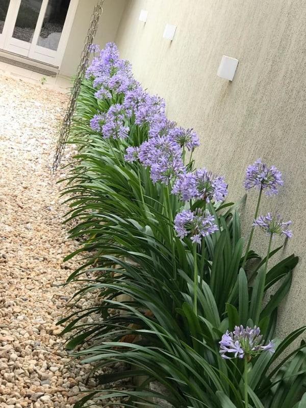 jardim rente ao muro com agapanthus