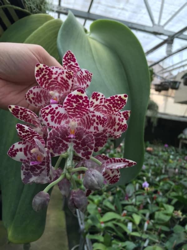 orquidea phalaenopsis gigantea