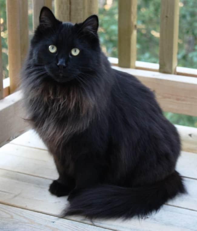 gato gigante com pelo preto e olho verde