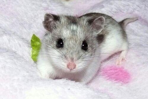 raca de hamster chines