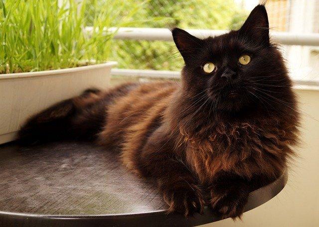 gato gigante de olho verde