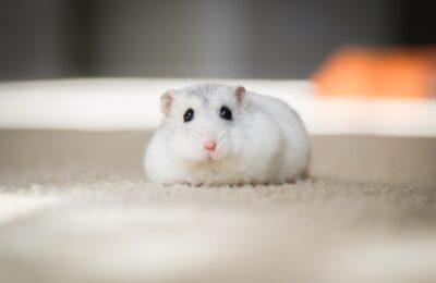 hamster chines branco