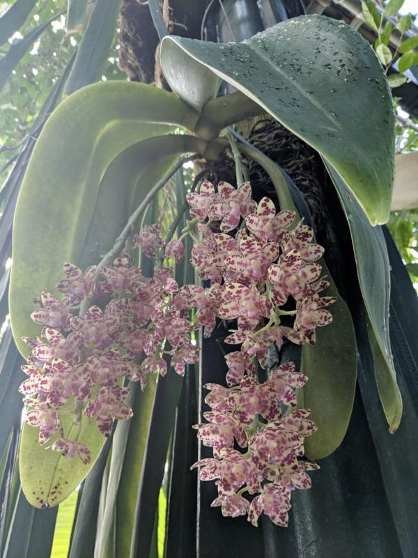 orquidea phalaenopsis com folhas gigantes
