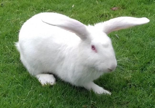raca de coelho branco
