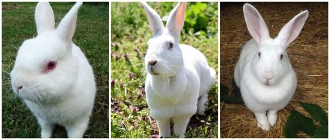 coelho com pelagem branca e orelhas grandes